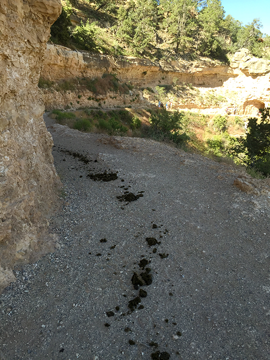 Photo of mule poo along Bright Angel Trail