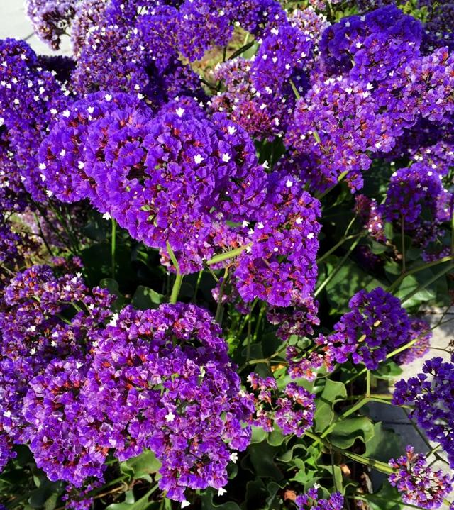 PurpleFlowersrun42616